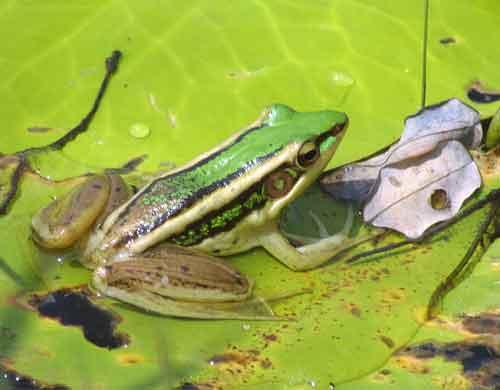 Green lotus frog