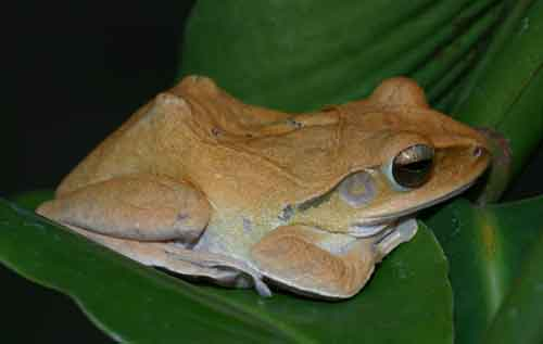 House tree frog