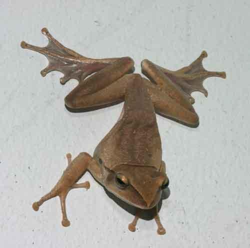 House tree frog1