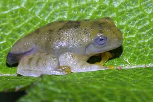 frog 4