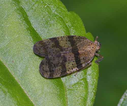 Lophopidae 1
