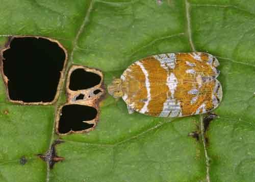 Lophopidae 3