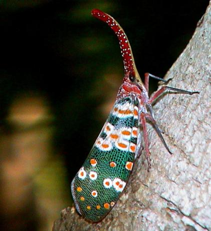 Pyrops candelaria (Fulgoridae)