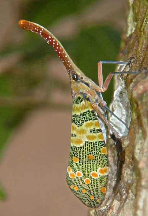 Pyrops candelaria (Fulgoridae) 1