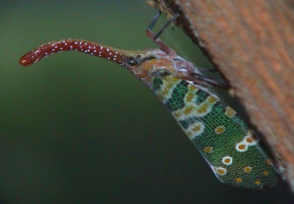 Pyrops candelaria (Fulgoridae) 2