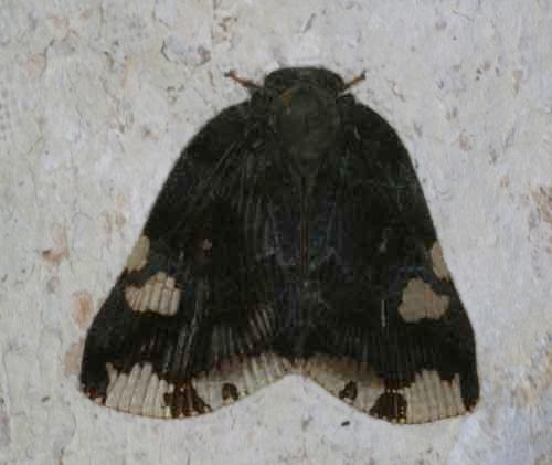 Ricaniidae 1