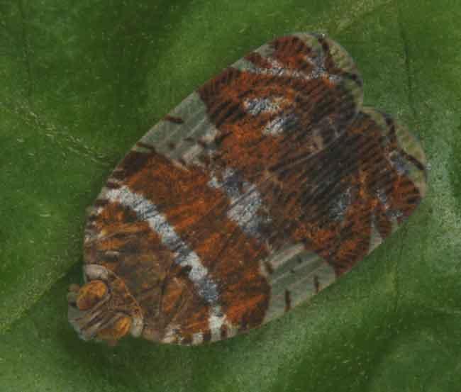 Ricaniidae1