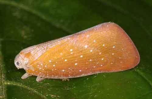 Flatidae 3