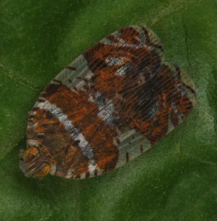Ricaniidae4