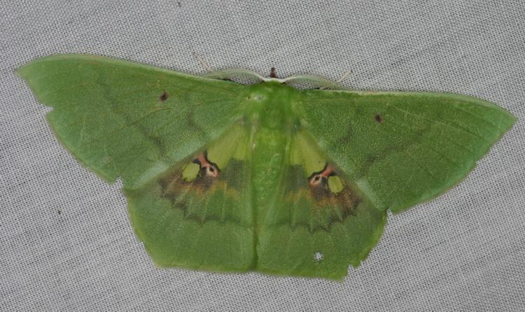 Aporandria specularia 1