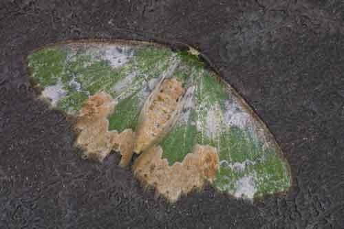 Chloromachia albisparsa