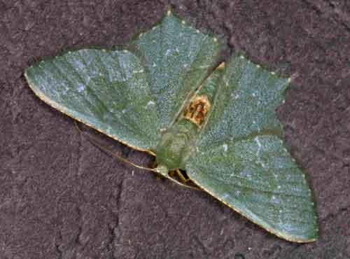 Hemithea tritonaria