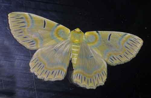 Iotaphora iridicolor q