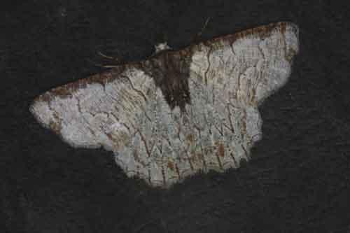Lophophelma luteipes 1