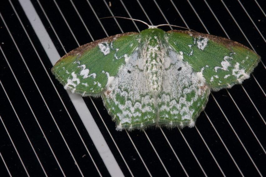 Geometridae Geometrinae Eucyclodes sp.