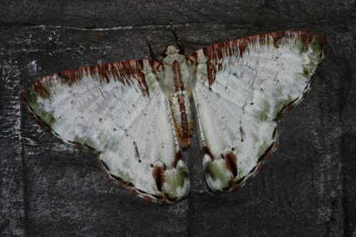 Pachyodes ornataria