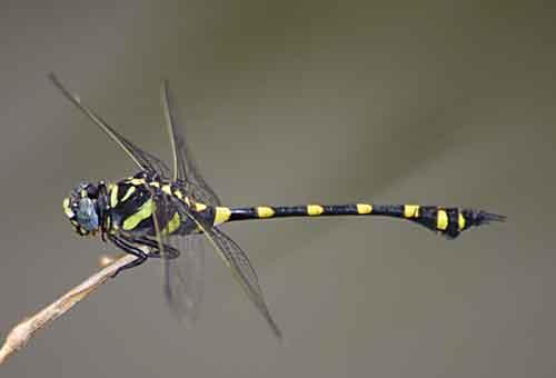 Ictinogomphus decoratus melaenops 1