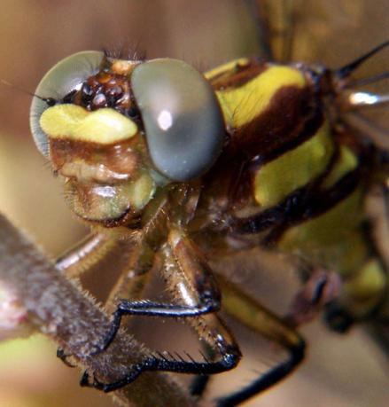 Lamelligomphus  or Amphigomphus somnuki
