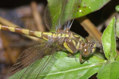 Paragomphus capricornis f 1