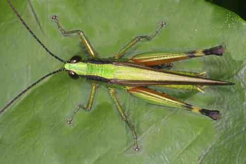 Oxya japonica (Oxyinae, Acrididae)