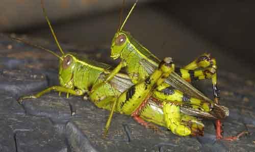Acrididae 7