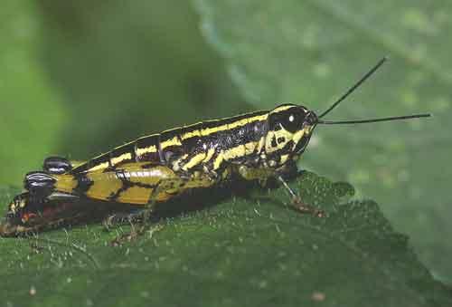 Acrididae 9