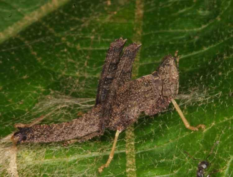 Erianthus manueli f nymph