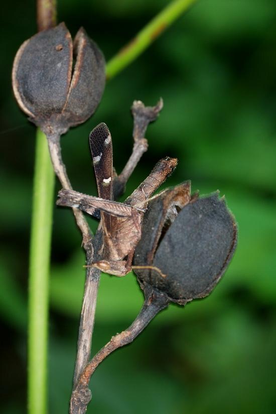 Erianthus sp.