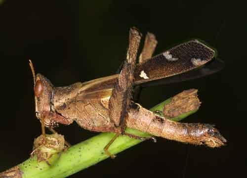 Eumastacidae Erianthus sp.