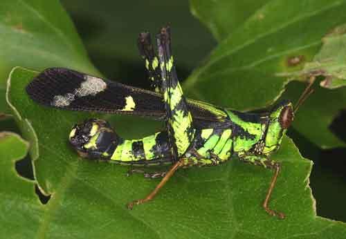 Eumastacidae Erianthus serratus 1