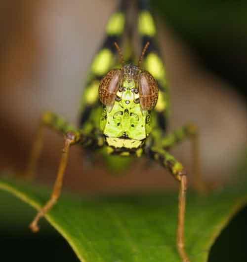 Eumastacidae Erianthus serratus 2