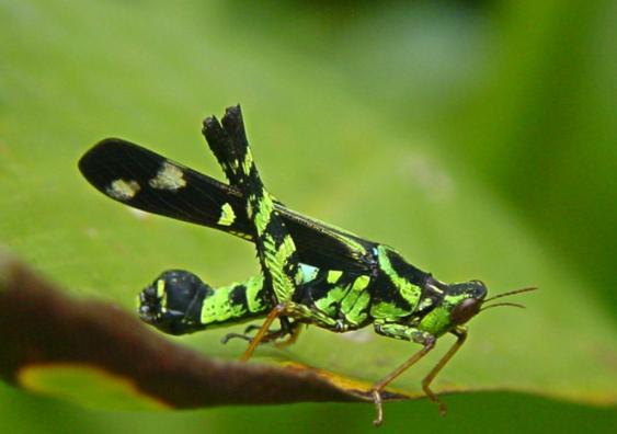 Eumastacidae Erianthus serratus 4