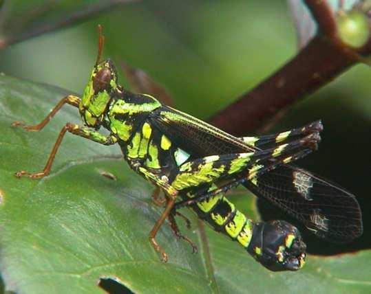 Eumastacidae Erianthus serratus 5