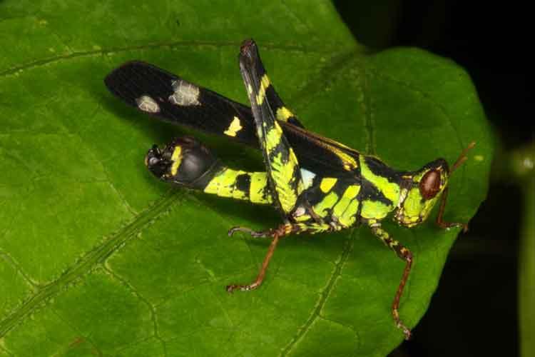 Eumastacidae Erianthus serratus 6