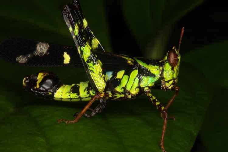 Eumastacidae 7 Erianthus serratus
