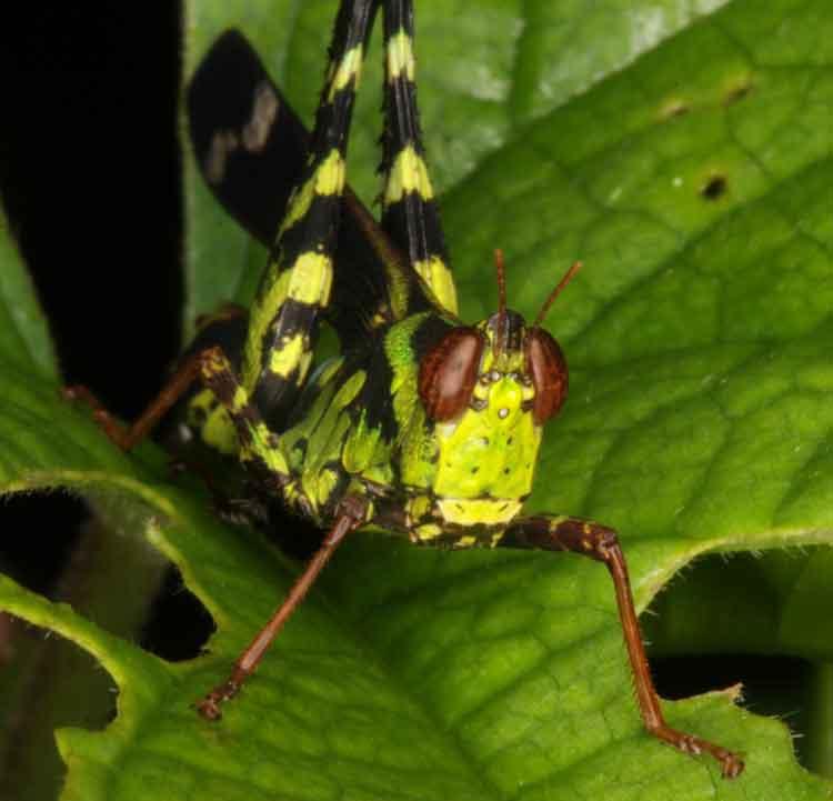 Eumastacidae Erianthus serratus 8
