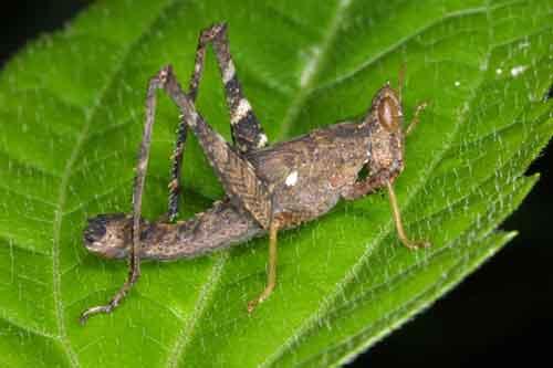 Pternoscirta sp. possibly