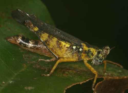 Erianthus manueli