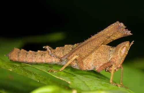Erianthus manueli nymph