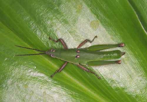Atractomorpha crenulata or similar