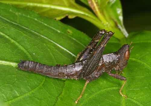 Erianthus manueli f