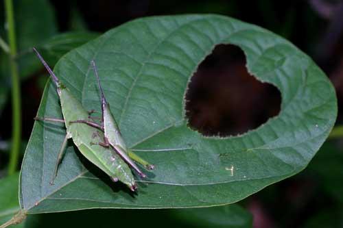 Atractomorpha crenulata