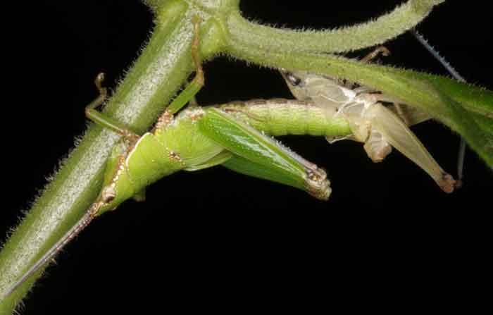 grasshopper moulting1