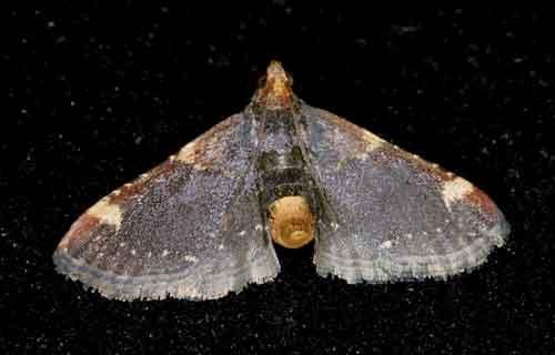 Herminiidae sp