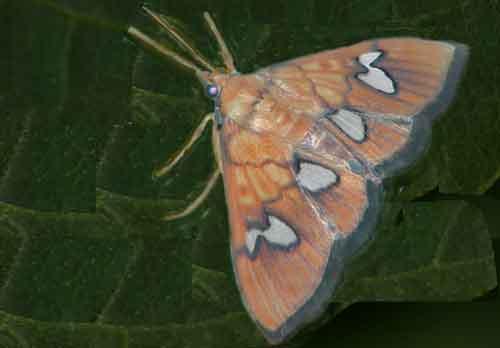 Hypeninae sp 1