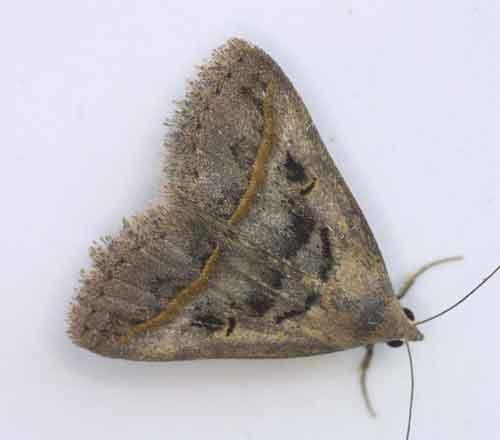 Hypeninae sp