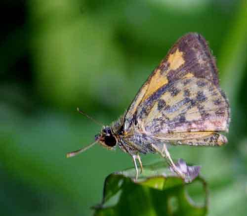 Ampittia maroides