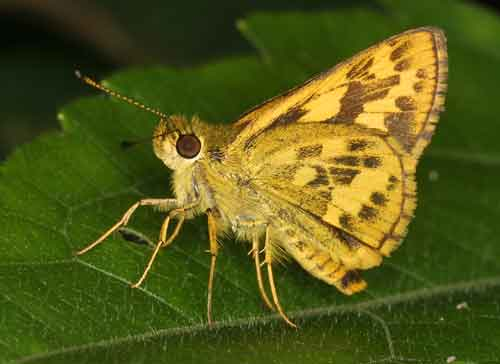 Potanthus species 1