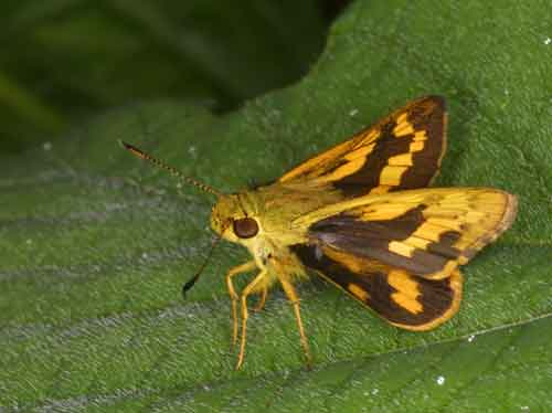 Potanthus species