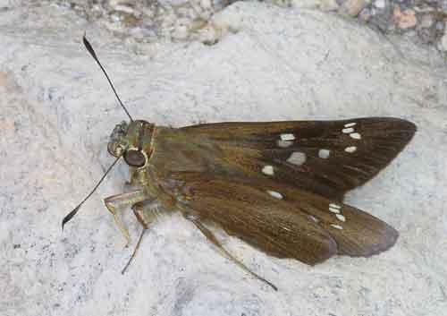 Zographetus satwa